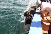 Kiên Giang: Thả 12 cá thể rùa biển về môi trường tự nhiên
