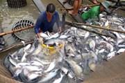 Đồng Tháp: Giá cá tra ở mức cao ngay từ đầu năm, người nuôi phấn khởi