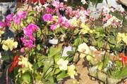 Hoa địa lan Đà Lạt đồng loạt nở sớm khiến nhiều nhà vườn thua lỗ