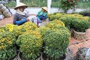 Đồng Tháp: Hoa cúc mâm xôi được giá dịp Tết, nông dân phấn khởi