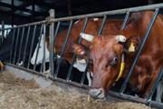 """Sau Thụy Điển, Pháp đến Latvia phát hiện thịt bò """"bẩn"""" nhập từ Ba Lan"""
