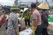 Ngư dân Quỳnh Lưu trúng mẻ cá hố trị giá gần 1,5 tỷ đồng