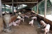 Nguy cơ cao dịch tả lợn châu Phi xâm nhiễm vào Việt Nam