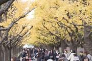 [Photo] Ngắm cảnh mùa Thu đẹp như tranh vẽ ở thủ đô Tokyo