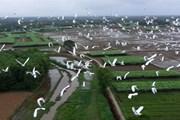 [Photo] Ngắm những đàn cò trắng bay rợp cánh đồng ở Thừa Thiên-Huế