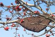 [Photo] Kỳ lạ cây hoa gạo đỏ rực có đến 40 tổ ong làm mật