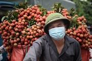 [Photo] Bắc Giang hoàn thành tiêu thụ hơn 50.000 tấn vải chín sớm