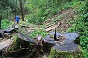 Lâm Đồng: Rừng dổi 'chảy máu,' hàng loạt cây cổ thụ bị đốn hạ