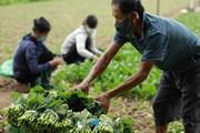 [Photo] Ngành nông nghiệp Hà Nội cung ứng 1.350 tấn rau xanh mỗi ngày