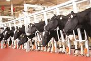 """Nhập khẩu 1.800 con bò Mỹ, Tập đoàn TH """"nâng hạng"""" đàn bò Việt Nam"""