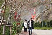 Du khách đổ lên Fansipan chiêm ngưỡng 600 cây đào đồng loạt khoe sắc