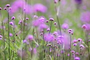 Lên Fansipan chiêm ngưỡng 'thung lũng hoa' đẹp ngỡ ngàng