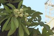 [Video] Ngỡ ngàng hoa sữa trái mùa tại thủ đô Hà Nội