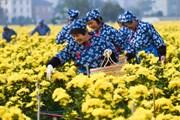 [Photo] Nông dân Trung Quốc tất bật thu hoạch hoa cúc làm thảo dược