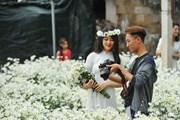 [Photo] Vườn cúc họa mi tại Nam Định và Ninh Bình hút du khách