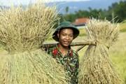 [Photo] Điện Biên: Bộ đội giúp người dân thu hoạch lúa Đông Xuân