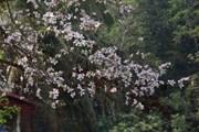[Photo] Điện Biên: Sắc ban đầu mùa nơi phố núi Mường Thanh