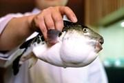 Cà Mau: 5 ngư dân nhập viện cấp cứu vì ngộ độc cá nóc