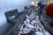 """Xuất khẩu cá tra Việt Nam sang Mỹ vẫn chưa hết """"nghẹt thở"""""""