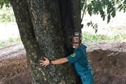 Điều tra vụ đào trộm cây giáng hương gần 100 năm tuổi ở Dầu Tiếng