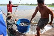 Nguy cơ vỡ quy hoạch do nông dân ồ ạt tăng diện tích nuôi cá tra giống