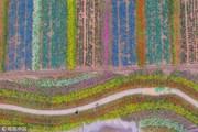 """Ngắm nhìn """"tấm thảm len"""" kỳ diệu kết từ hàng vạn cây cúc đang nở hoa"""