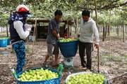 Trồng táo trong nhà lưới mang lại hiệu quả cao tại Ninh Thuận