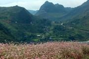 Hà Giang đã sẵn sàng chào đón du khách đến với mùa hoa tam giác mạch