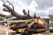"""Xử phạt vụ xe đầu kéo chở cây """"siêu khủng"""" trên Quốc lộ 19"""