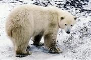 Gấu trắng Bắc Cực có thể thích nghi với biến đổi khí hậu nóng lên?
