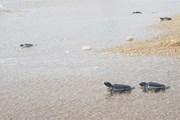 Bảo tồn loài rùa biển quý hiếm tại Vườn Quốc gia Núi Chúa