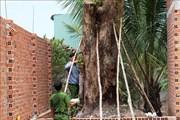 Phạt 150 triệu đồng vì khai thác trái phép cây giáng hương cổ thụ