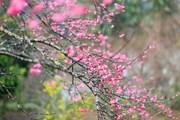 Chiêm ngưỡng các kỳ quan thế giới bằng hoa anh đào tại Hà Nội