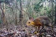 Cận cảnh loài hươu chuột quý hiếm mới xuất hiện trở lại tại Việt Nam