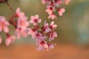 Thành phố Đà Lạt nhuộm hồng sắc màu mai anh đào