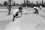 Từ bài học 'Khoán 10' đến cường quốc xuất khẩu gạo
