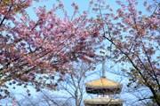 [Photo] Hoa anh đào nở rộ báo hiệu mùa Xuân về tại Vũ Hán