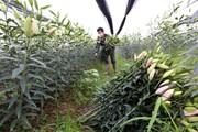 Hoa 'cười', người khóc vì dịch COVID-19 tại làng hoa ly Tây Tựu