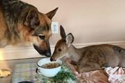 [Photo] Chú chó chăn cừu tình nguyện làm vệ sỹ cho nai con