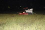 [Photo] Nông dân Nghệ An gặt lúa vào ban đêm tránh nóng