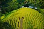 Mùa vàng trên những thửa ruộng bậc thang Hoàng Su Phì