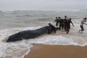 Cận cảnh giải cứu cá voi 3 tấn bị mắc cạn tại Thừa Thiên-Huế