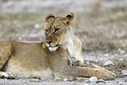 [Photo] Sư tử gây sửng sốt khi chăm sóc linh dương như con đẻ