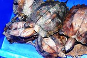 Cục Kiểm lâm lên tiếng vụ 'phù phép' rùa quý hiếm thành rùa gây nuôi