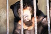 Cứu hộ cá thể gấu chó quý hiếm sau 15 năm bị nuôi nhốt làm cảnh