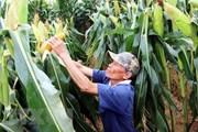 Nông dân thu lợi nhuận cao với ngô biến đổi gen