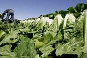 Canada bùng phát dịch do nhiễm khuẩn E.coli từ rau diếp đảo Kos
