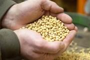 Argentina phê chuẩn đậu tương công nghệ sinh học kháng hạn HB4