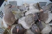 Bắt giữ hơn 2.000 con chim bồ câu Trung Quốc nhập lậu vào Việt Nam