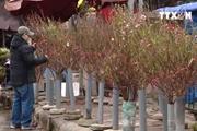 [Video] Chợ hoa Quảng Bá tràn ngập hoa đào, ngỡ như Tết sắp về